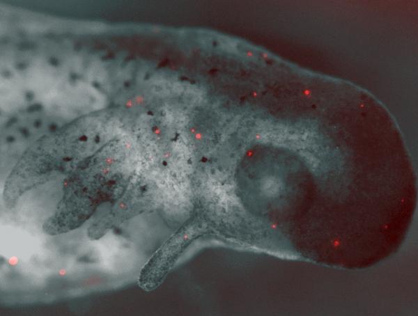 spotted_salamander_embryo_algae
