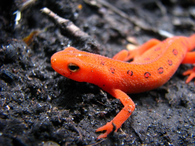 The Red Eft stage of Notophthalmus viridescens, Taken by Daniel Manget