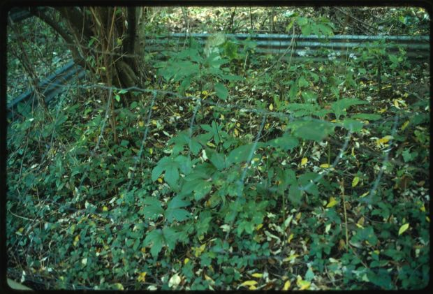 "Ginseng enclosure in modern times. Lyntha Eiler, ""Ginseng and goldenseal in the fenced enclosure,"" Tending the Commons: Folklife and Landscape in Southern West Virginia, Library of Congress."