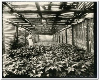 A ginseng garden in early 20th century. From West Virginia & Regional History Collection, West Virginia University.