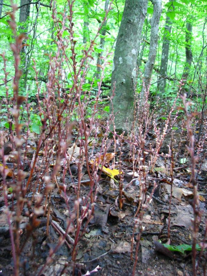 Beech Drops, Epifagus americana, and it's Beech tree host.  Taken by Daniel Manget