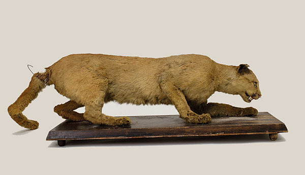 Credit: State Museum of Pennsylvania Caption: This stuffed eastern cougar is believed to be the last of its kind killed in Pennsylvania in 1874.