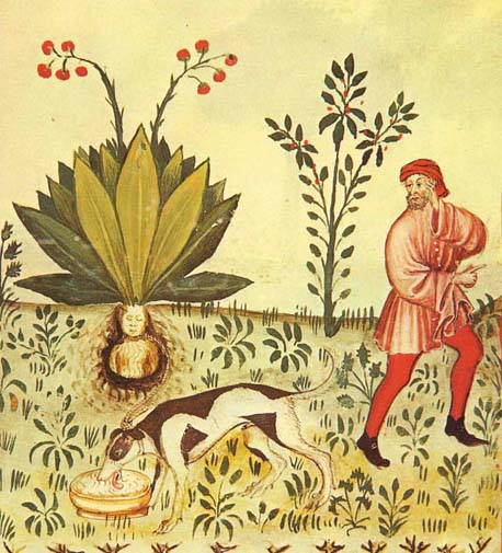 The mandrake harvesting ceremony is depicted in this 15th century health text, tacuinum sanitatis. Note the starving dog on a chain and the man covering his ears so he cannot hear the plant scream.