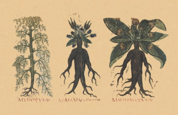 This drawing of the mandrake is from the first-century Roman physician Dioscorides, who first recorded the belief that the mandrake screams
