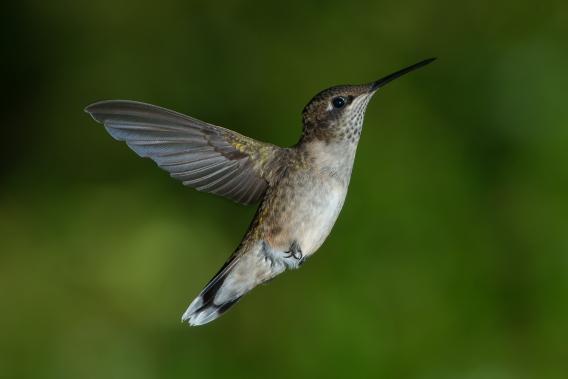 """Juvenile Male Ruby-throated Hummingbird"" by Pslawinski"