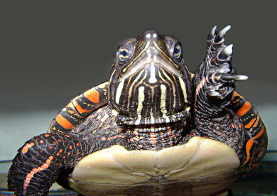 Eastern Painted Turtle. US BLM
