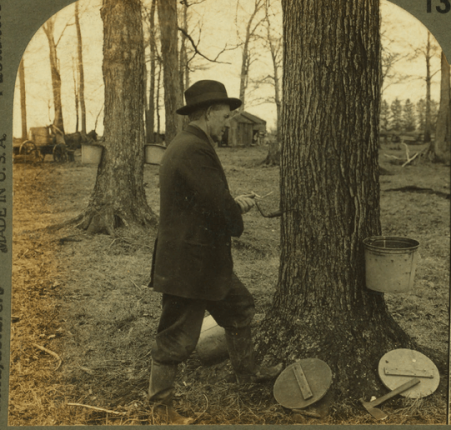 1280px-Tapping_a_sugar-maple_tree,_Ohio,_by_Keystone_View_Company