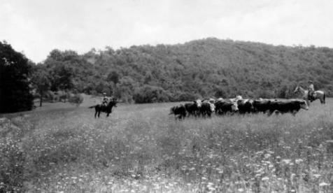 Cattle on the range Green Ridge 1930 UNCA