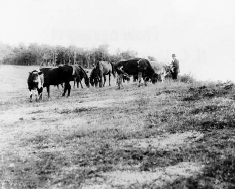 Grazing cattle on a bald 1906 UNCA