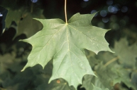 The leaf of a sugar maple